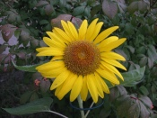 My Volunteer Sunflower